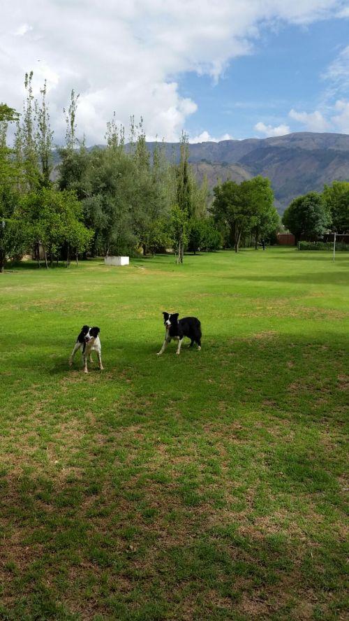 Dogs in Tiquipaya